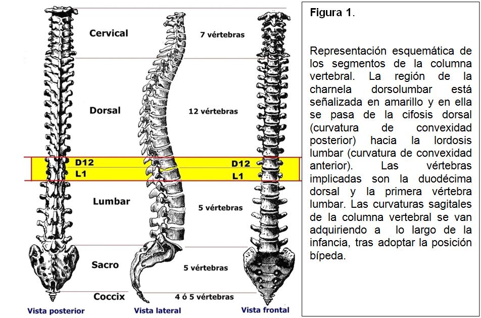 Fantástico L1 Vértebras Cresta - Anatomía de Las Imágenesdel Cuerpo ...